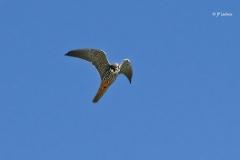 Faucon hobereau - Jean-Paul ladoux