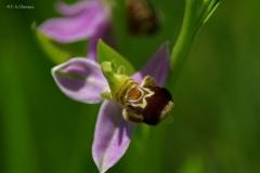 Ophrys abeille - Fabrice et Anne Chevreux