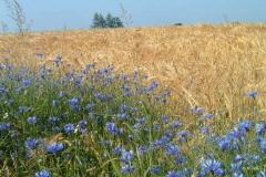 Céréales et plantes messicoles - Magali Trille